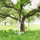 Ladder leaning on blossoming apple tree
