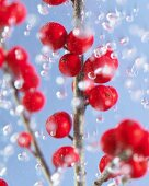 Holly sprig with red berries in water