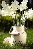 White narcissus flowers in a milk can on a field
