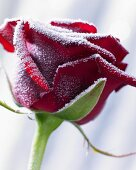 Hoarfrost on a red rose