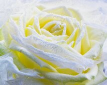 Hoarfrost on a white rose (close-up)
