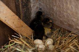 Laufentenküken und Eier im Nest