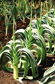 Leeks growing in the vegetable patch
