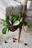 Fresh cherries in fruit picker basket