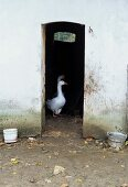 View of two geese through narrow doorway of barn