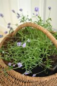 Purple-flowering plant in basket