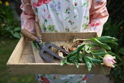 Woman holding wooden box containing tulips and garden tools