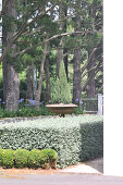 Row of low shrubs in front of hedge in front of square-trimmed hedge and trees in garden