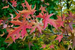 Blätter mit rot-gelber Herbstverfärbung am Amberbaum (Liquidambar orientalis)