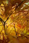 Licht fällt durch gelb verfärbtes Blätterwerk des japanischen Ahorbaums (Acer japonicum Dissectum)