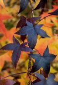 Bläulich rot verfärbte Blätter am Amberbaum (Liquidambar styraciflua)