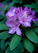 Purple rhododendron flowers
