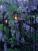 Classic lanterns on garden fence amongst blue flowering wisteria