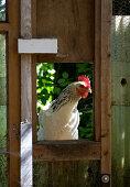 Huhn blickt dur Fenster im Gartenhaus