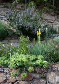 Euphorbia and other flowering plants growing on stone wall