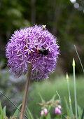 Insect on flowering allium