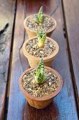 Three clay pots with small agave plants on a garden table