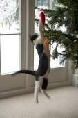 Black and white cat jumping to reach red Christmas tree decoration