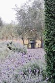 Flowering lavender and table and chairs below tree in Mediterranean garden