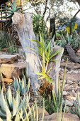 Aloes in front of a cut off tree trunk
