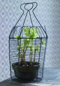 Potted hellebore in wire basket
