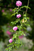 Pink heritage floribunda rose in rose garden