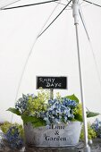 Hydrangea and lady's mantle in metal tub beneath umbrella