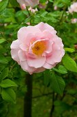 Pale Pink Rose on Plant