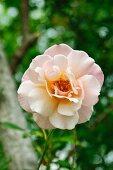 Rosenblüte im Garten