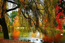 Weeping willow next to pond