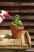 Mint in a flower pot being sprayed with water