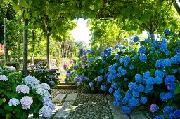Hydrangea bushes on terrace with climber-covered pergola in Mediterranean garden