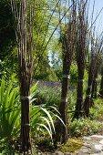 Gebündelte Weidenzweige in mediterranem Garten