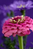 Pink zinnia with violet erigerons in blurred background