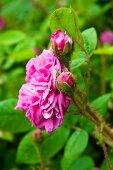 Pink rose (variety: 'Old Pink Moss') flowering in garden
