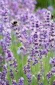 Bumblebee on flowering lavender