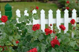Blooming roses in front of garden fence