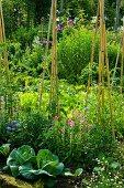 Gemüsebeet mit Kohlköpfen und zusammengebundenen Pflanzstäben