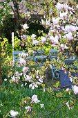 Flowering magnolia tree in front of blue wooden bench in garden