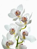 Sprig of white flowering orchid with violet spotted lips