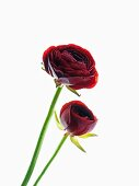 Dark red ranunculus