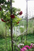 Climbing rose on garden pavilion