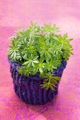 Woodruff in a plant pot with a knitted cachepot