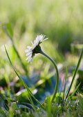 Daisy growing in grass