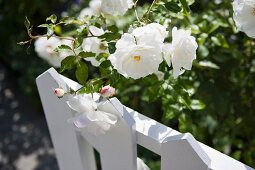 White flower peeking above white picket fence