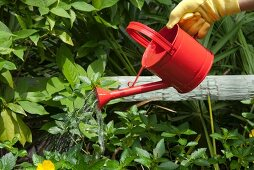 Watering Garden with a Red Watering Can