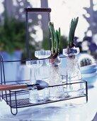 Flower bulbs in glass vases on a vintage style metal rack
