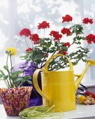 Yellow, metal watering can in front of a potted geranium and flower pot wrapped with patterned paper