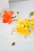 Flowers of Rhododendron luteum (yellow) and Rhododendron 'Gibraltar' (orange) on white wooden surface
