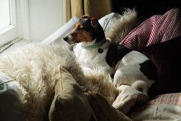 Piebald dog lying on comfortable sofa amongst many scatter cushions and looking out of window